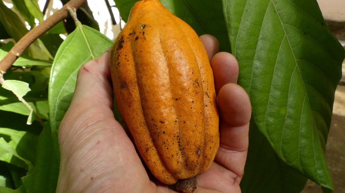Buidaya Kakao