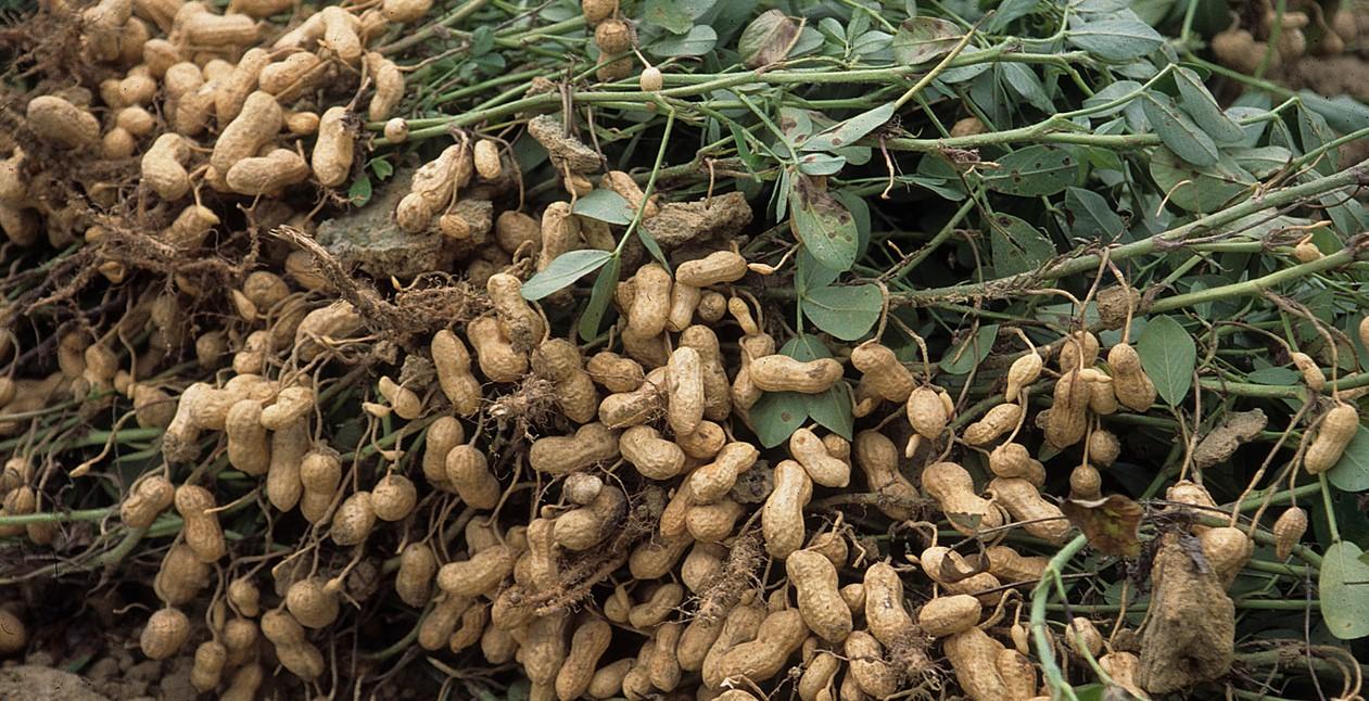 Budidaya Kacang Tanah