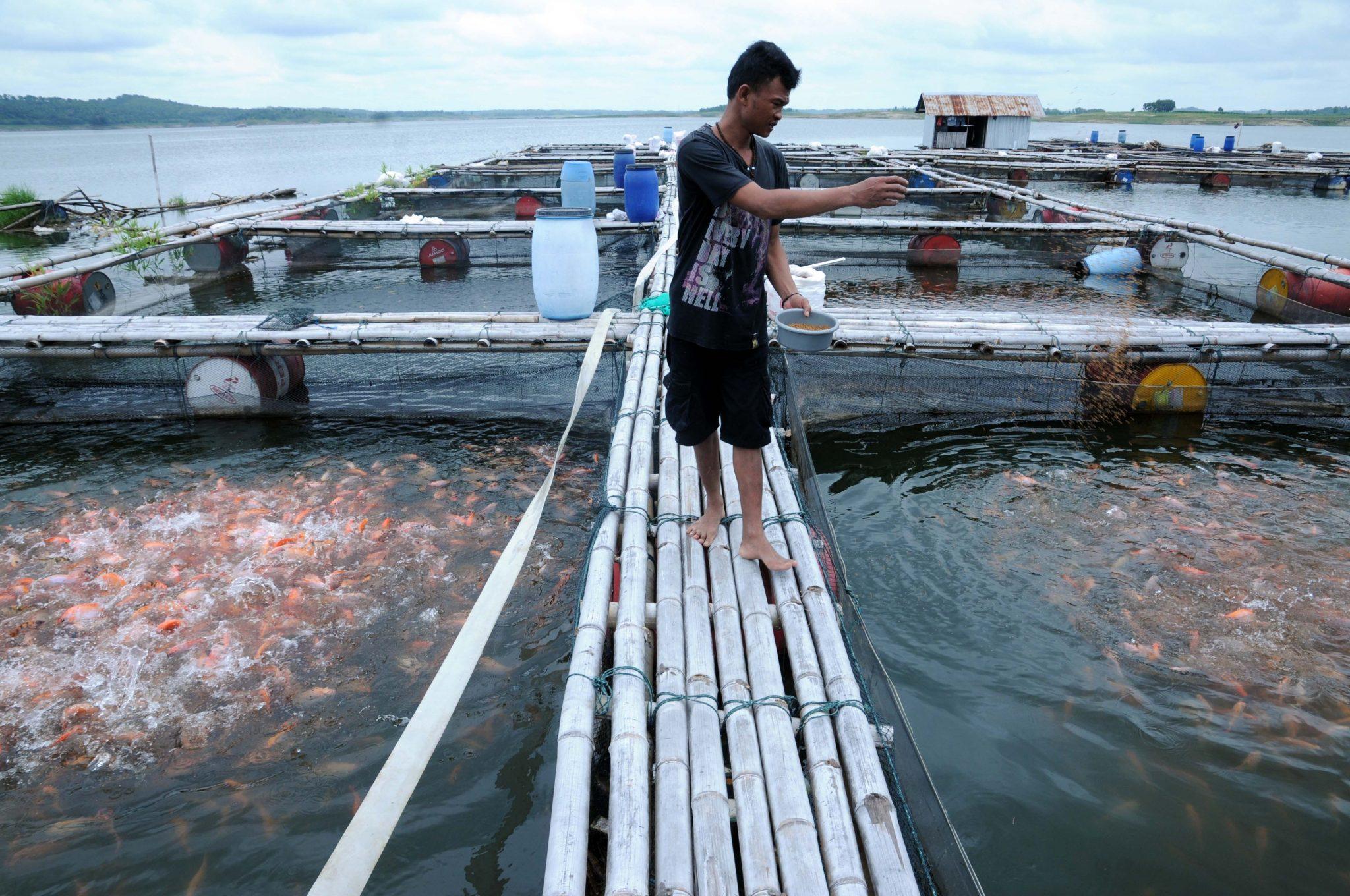 Pemberian Pakan Budidaya Ikan Mas