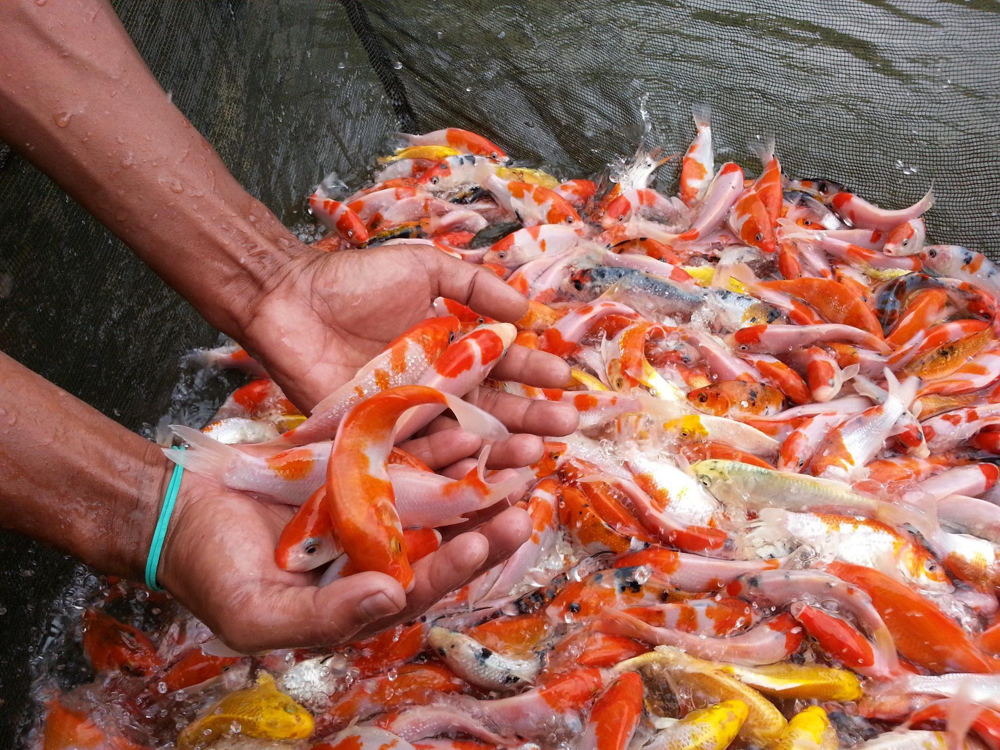 Pembesaran Ikan Koi